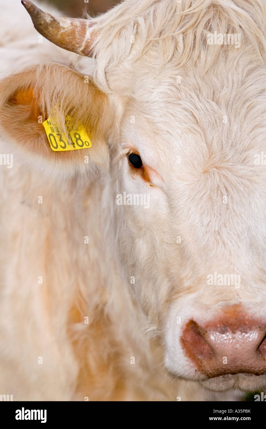 Detail Of A Cow With Yellow Label Stock Alamy