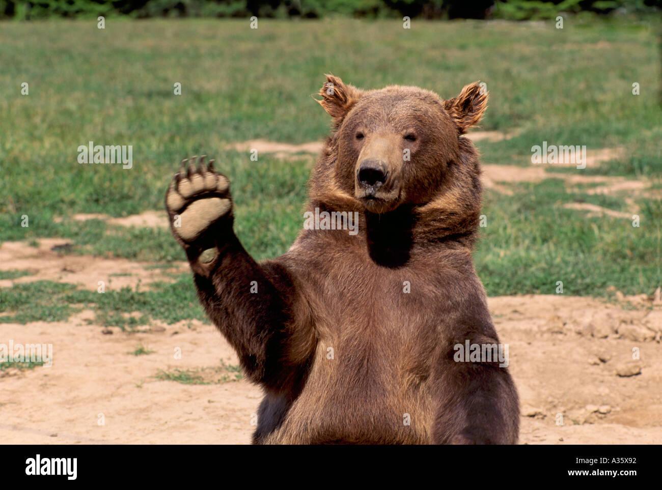 Kodiak Bear aka Alaskan Grizzly Bear and Alaska Brown Bear (Ursus arctos middendorffi) waving a Paw - North American Stock Photo