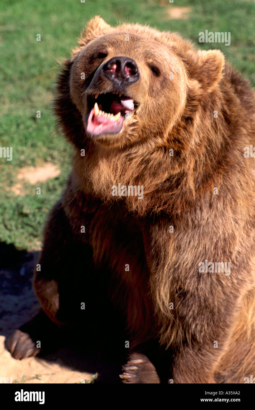 Kodiak Bear aka Alaskan Grizzly Bear and Alaska Brown Bear (Ursus arctos middendorffi) snarlng - North American Stock Photo