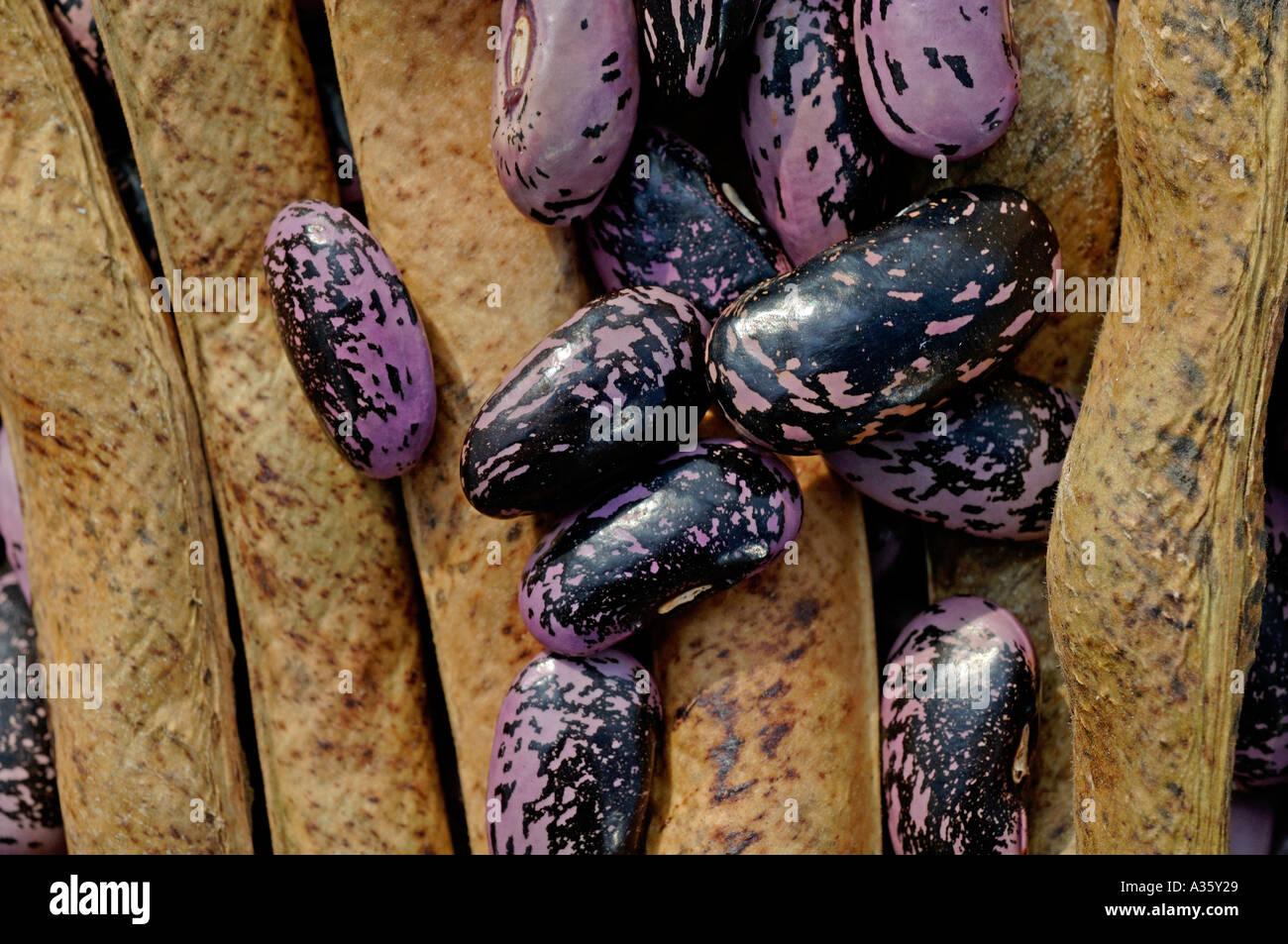 saved scarlet runner bean seed - Stock Image