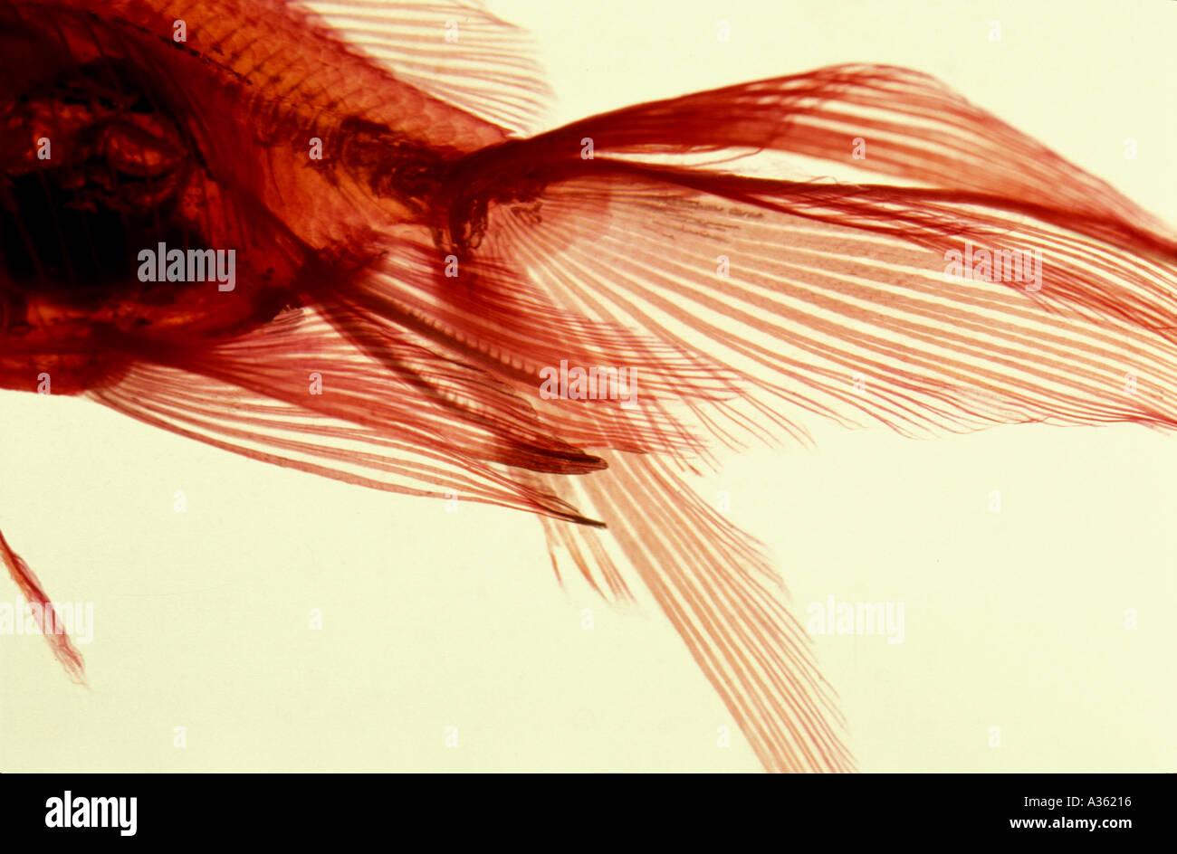X Ray Fish Stock Photos & X Ray Fish Stock Images - Alamy
