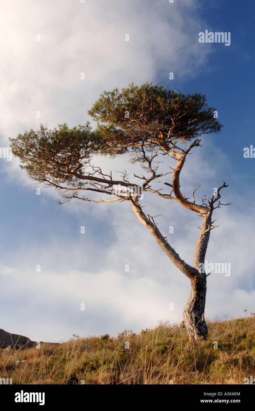 Lone Pine Tree Kinlochewe, Wester Ross. Highland Region. Scotland. XPL 4473-423 Stock Photo