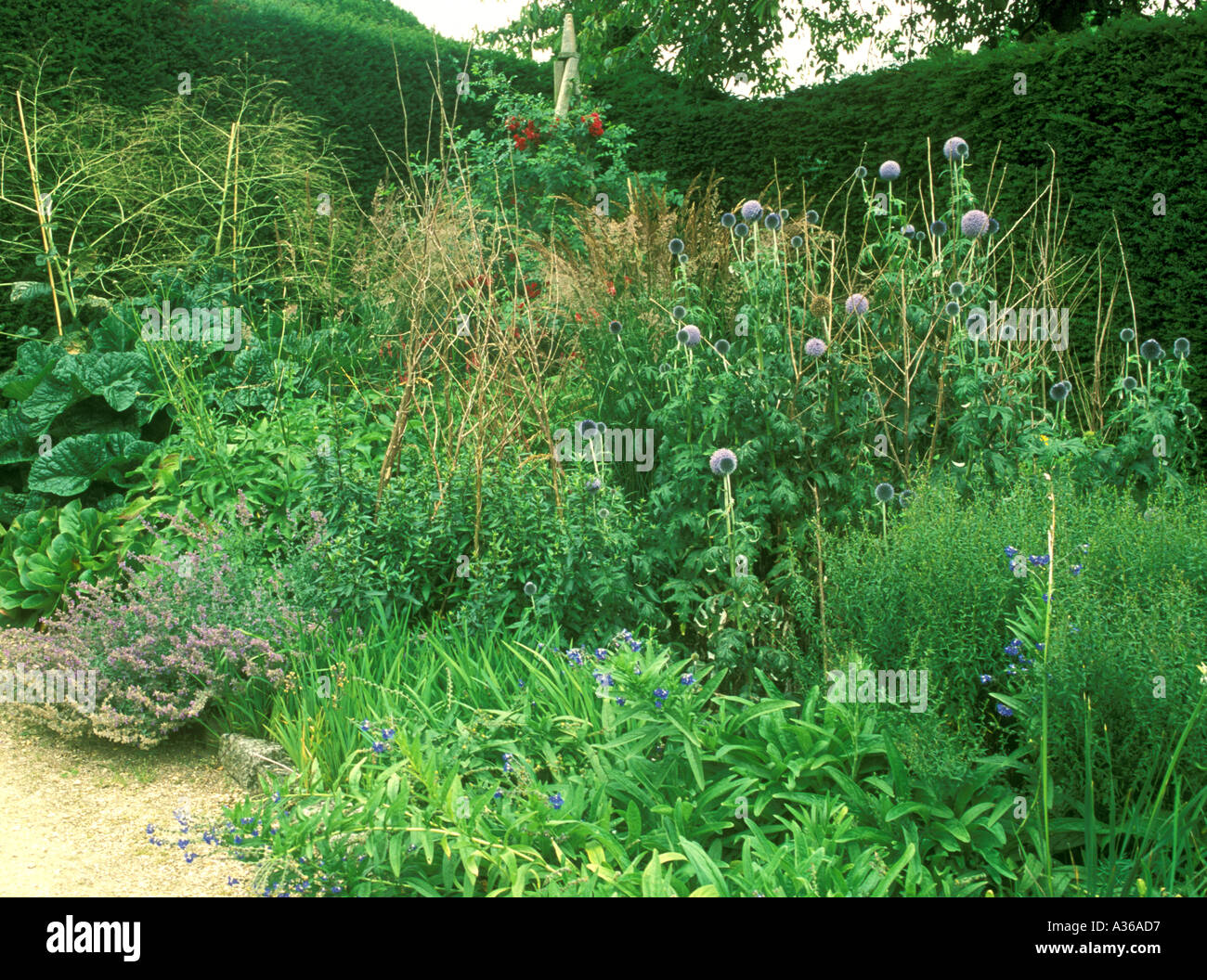 Mixed border Echinops bannaticus Taplow blue Climbing rose Nepeta Catmint - Stock Image
