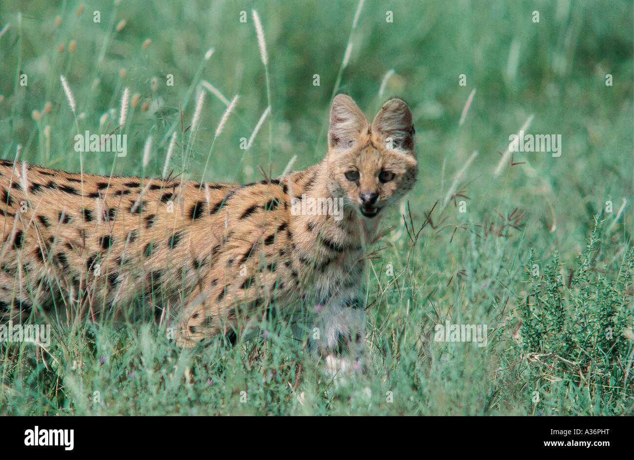 Serval cat standing alert in long grass in Serengeti National Park Tanzania - Stock Image