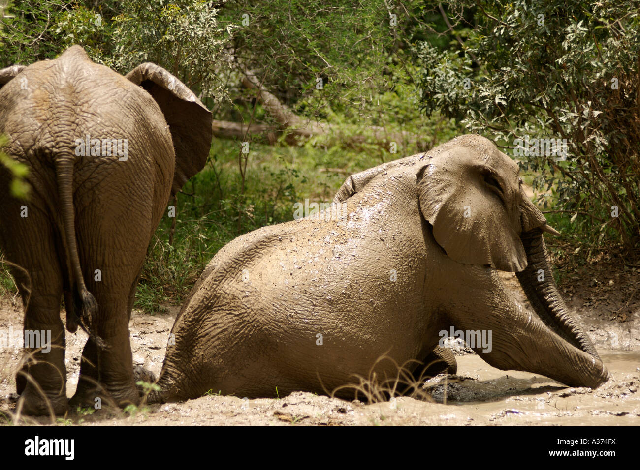 Elephants (Loxodonta Africana) wallowing in a mud bath in South Africa's Kruger National Park. - Stock Image