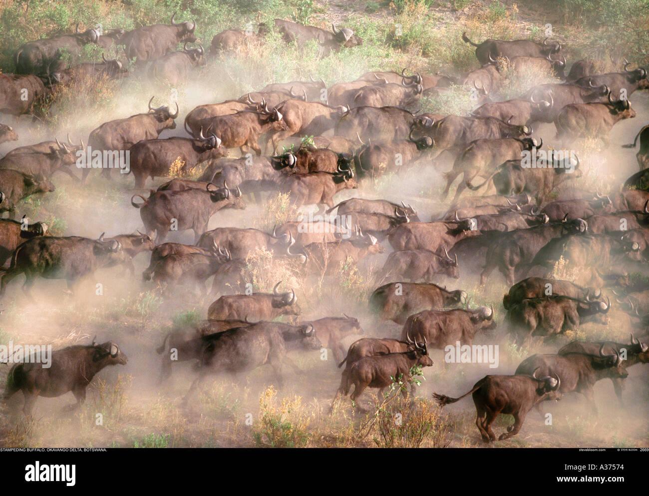 Buffalo herd from the air Okavango Botswana - Stock Image