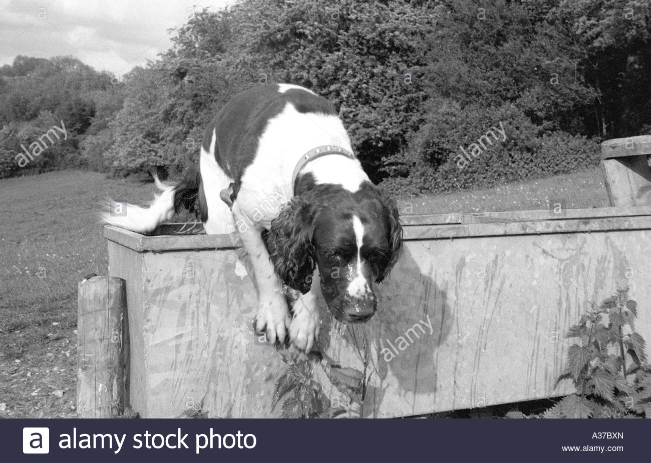 Springer spaniel leaps out after a bath Stock Photo