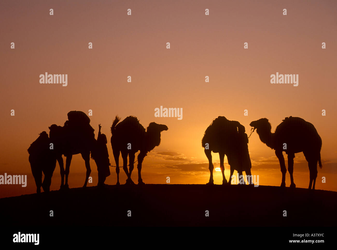 Bedouin and Camels at Sunset, Douz, Sahara Desert, Tunisia, North Africa - Stock Image