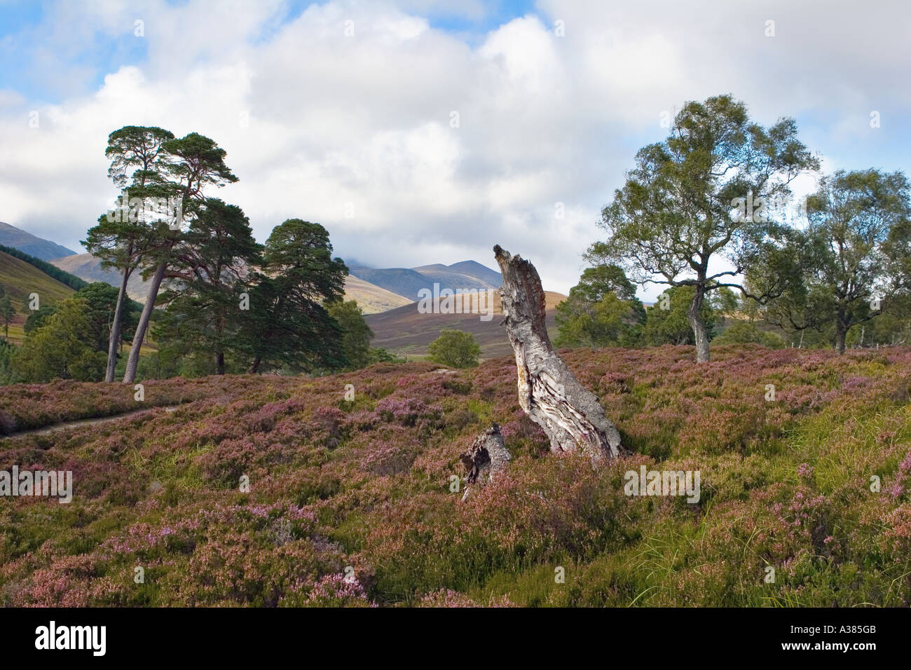 Heather in flower scotland - scottish heather moors and Caledonian Pine trees Mar Lodge Estate, Scotland uk - Stock Image