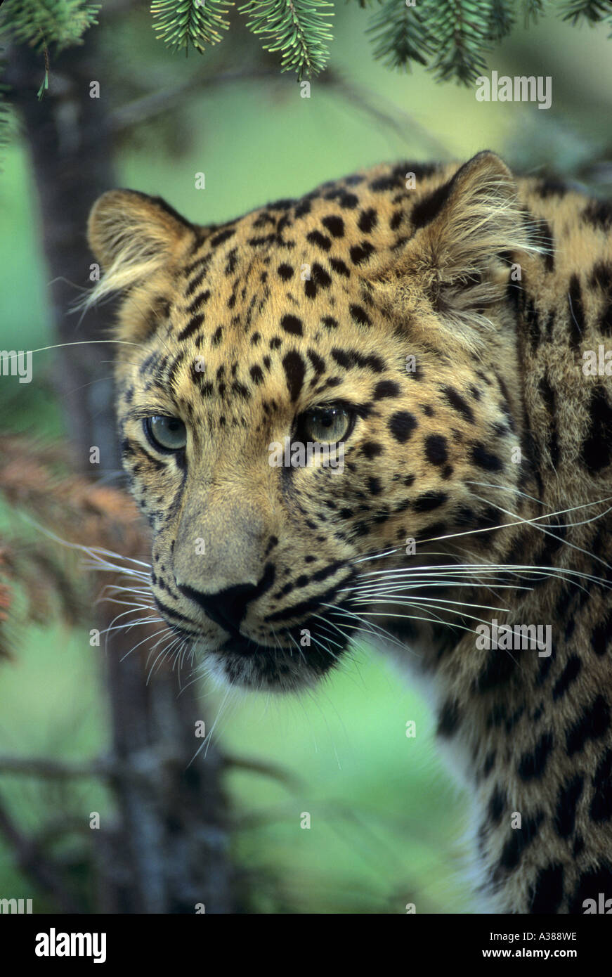 Amur leopard Panthera pardus orientalis Russian far east Captive - Stock Image