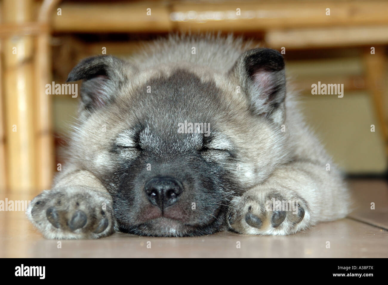 norwegian elkhound puppy sleeping stock photo 10705165 alamy