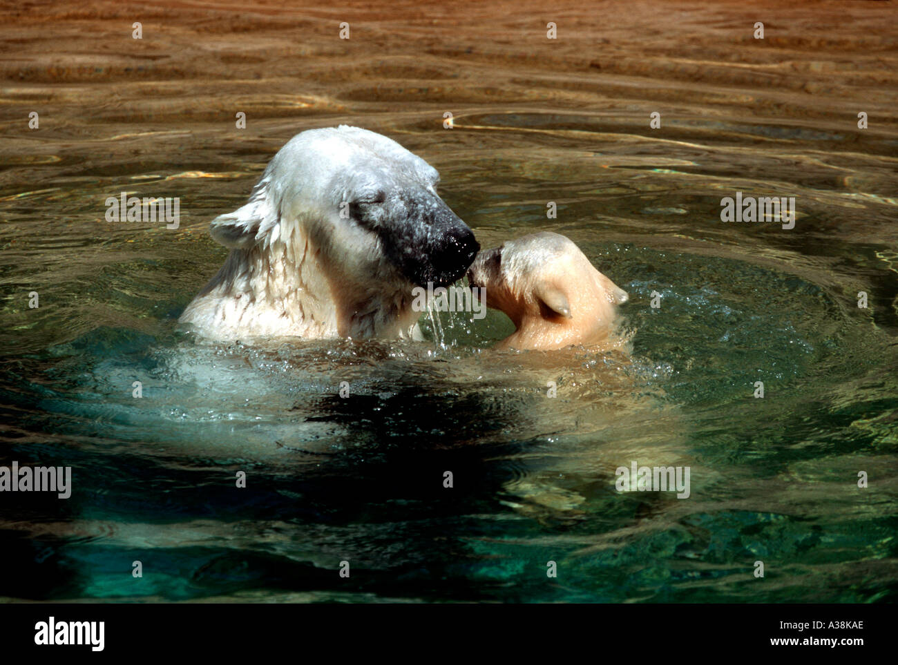 MBP-207 POLAR BEAR MOTHER AND CUB IN POOL - Stock Image