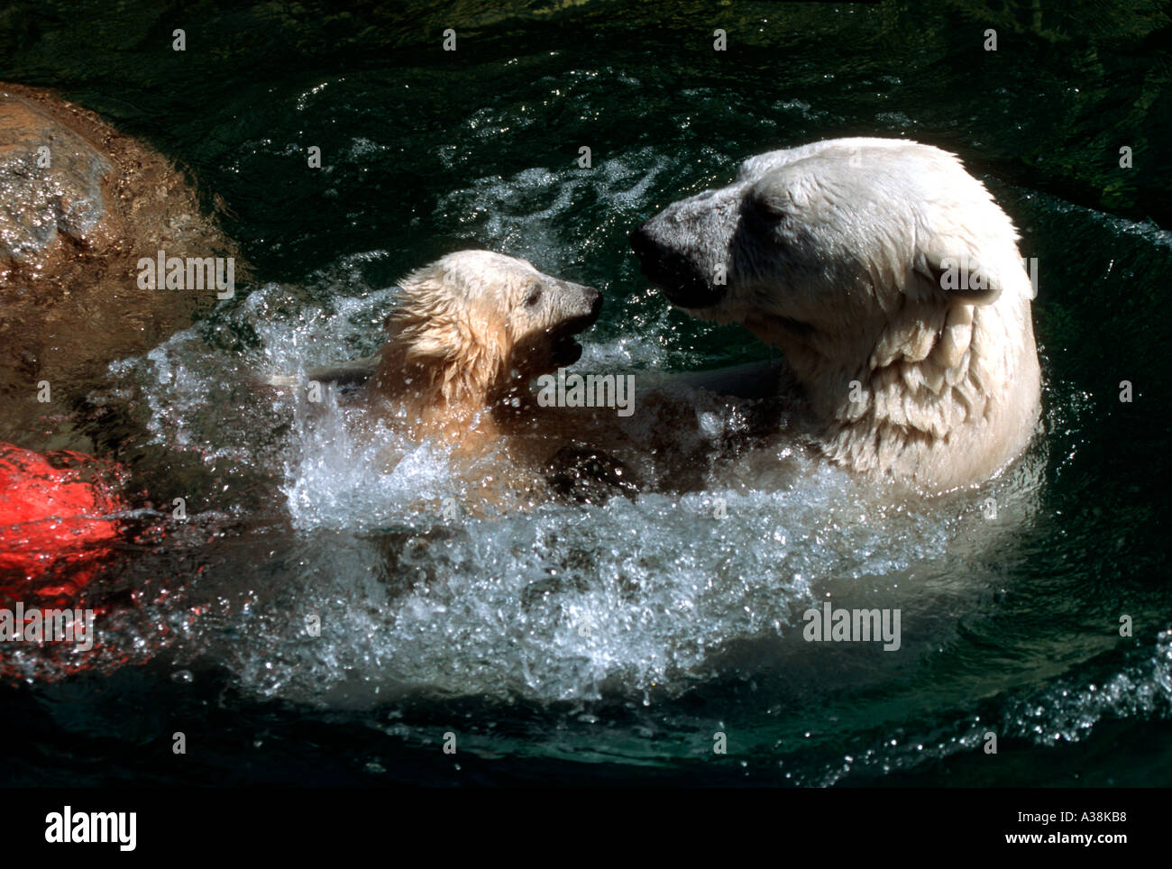 MBP-219 BABY POLAR BEAR PLAYING WITH MOTHER - Stock Image