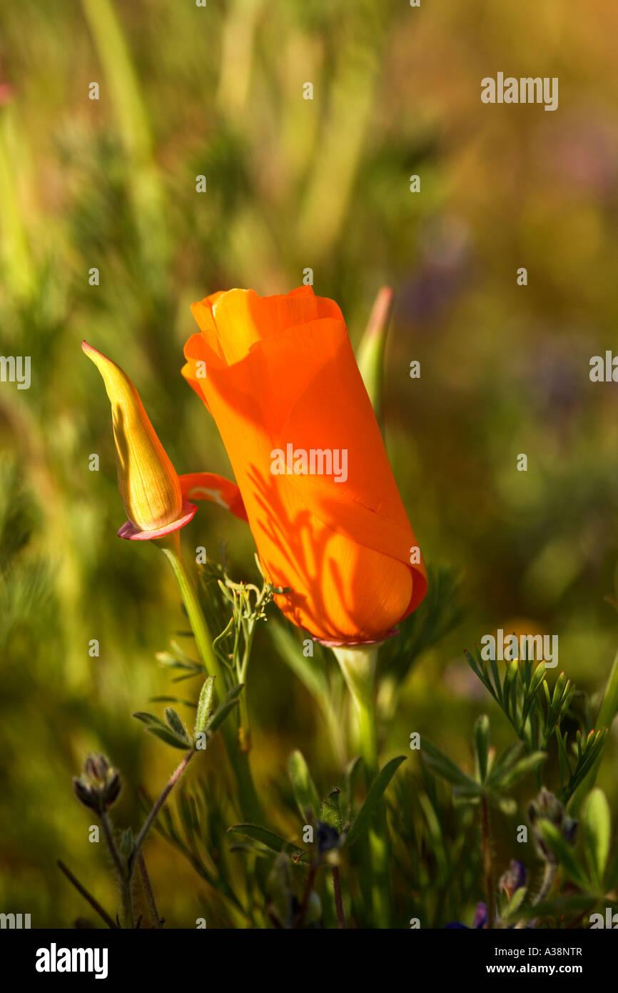 California Poppy opening, California - Stock Image