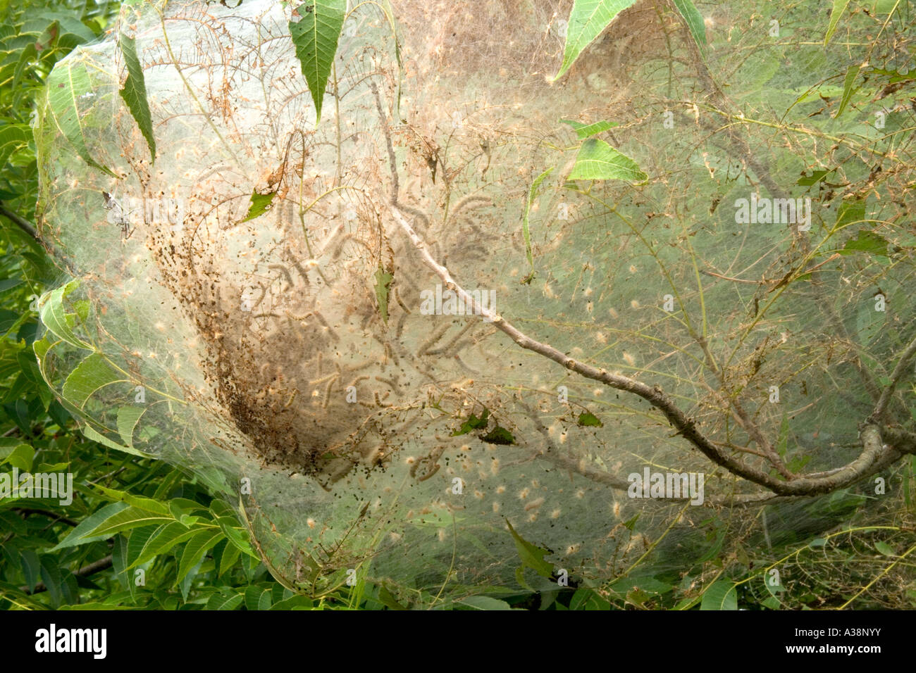 Eastern Tent Caterpillars  nesting web, Florida - Stock Image