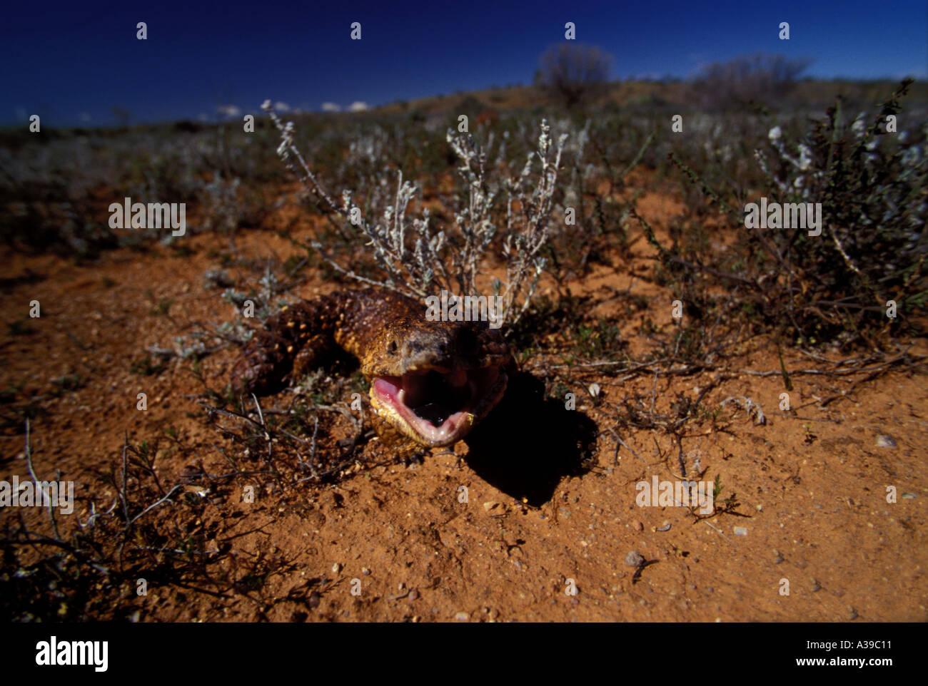 Shingle Back Blue Tounge Lizard 0254 - Stock Image