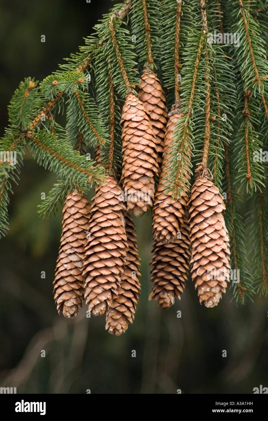 Norway Spruce Pine Cones - Stock Image