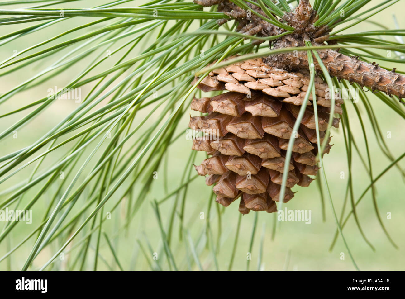 Pine Cone from Pitch Pine Tree - Stock Image