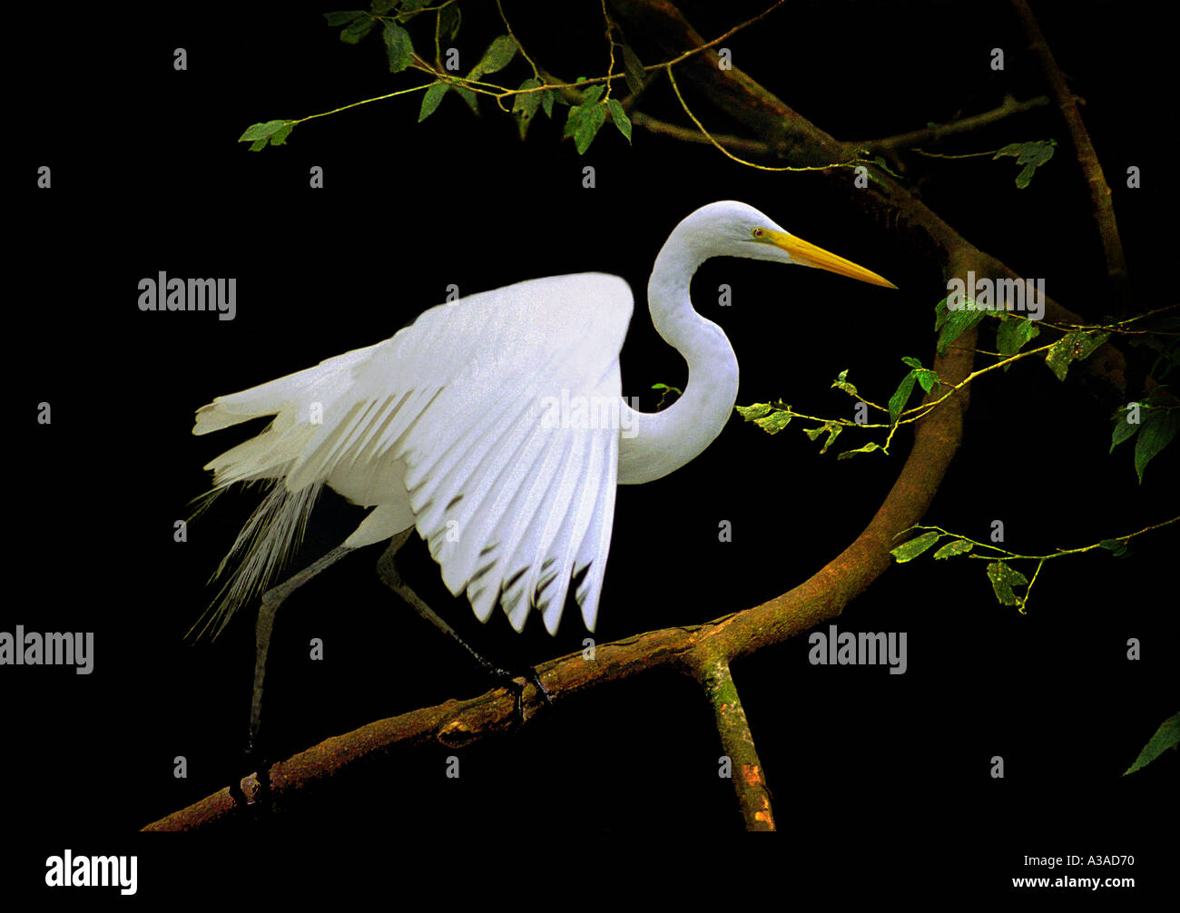 Great Egret Brazil - Stock Image