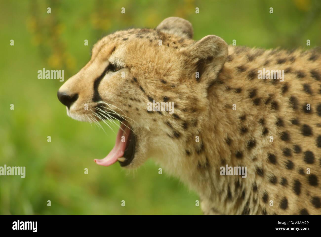 Cheetah yawning (Acinonyx jubatus) - Stock Image
