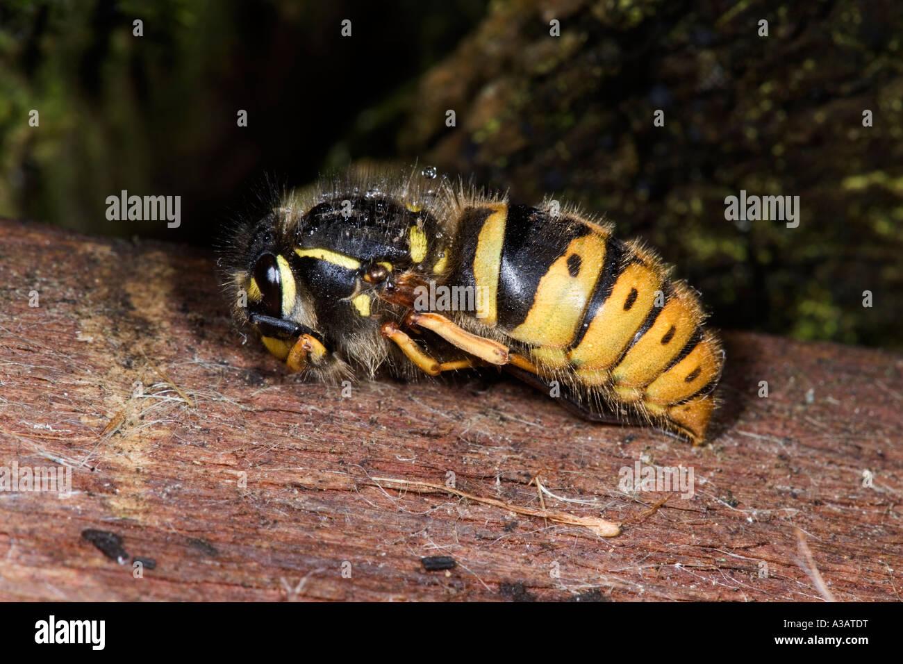 Wasp Vespula vulgaris hibernating under nest box lid potton bedfordshire - Stock Image
