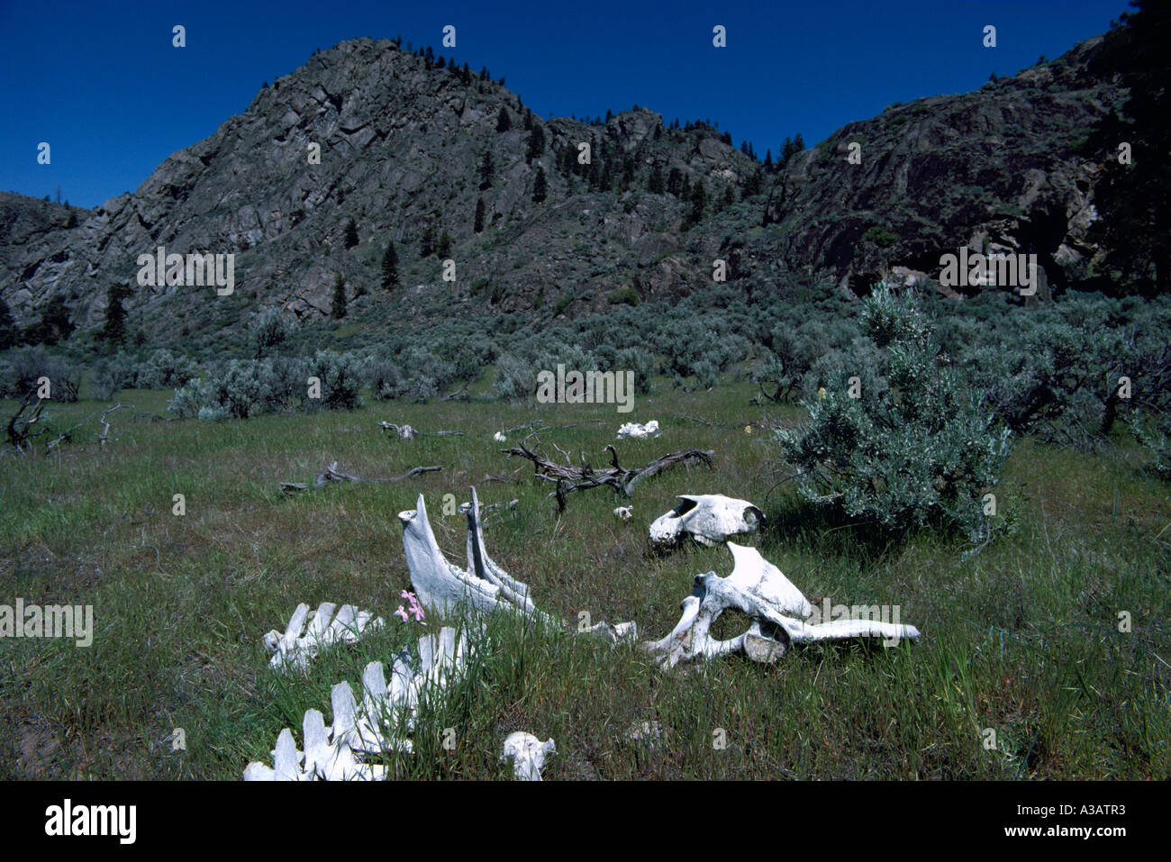 An Animal Skeleton in the Pocket Desert near Osoyoos in the South Okanagan Valley of British Columbia Canada - Stock Image