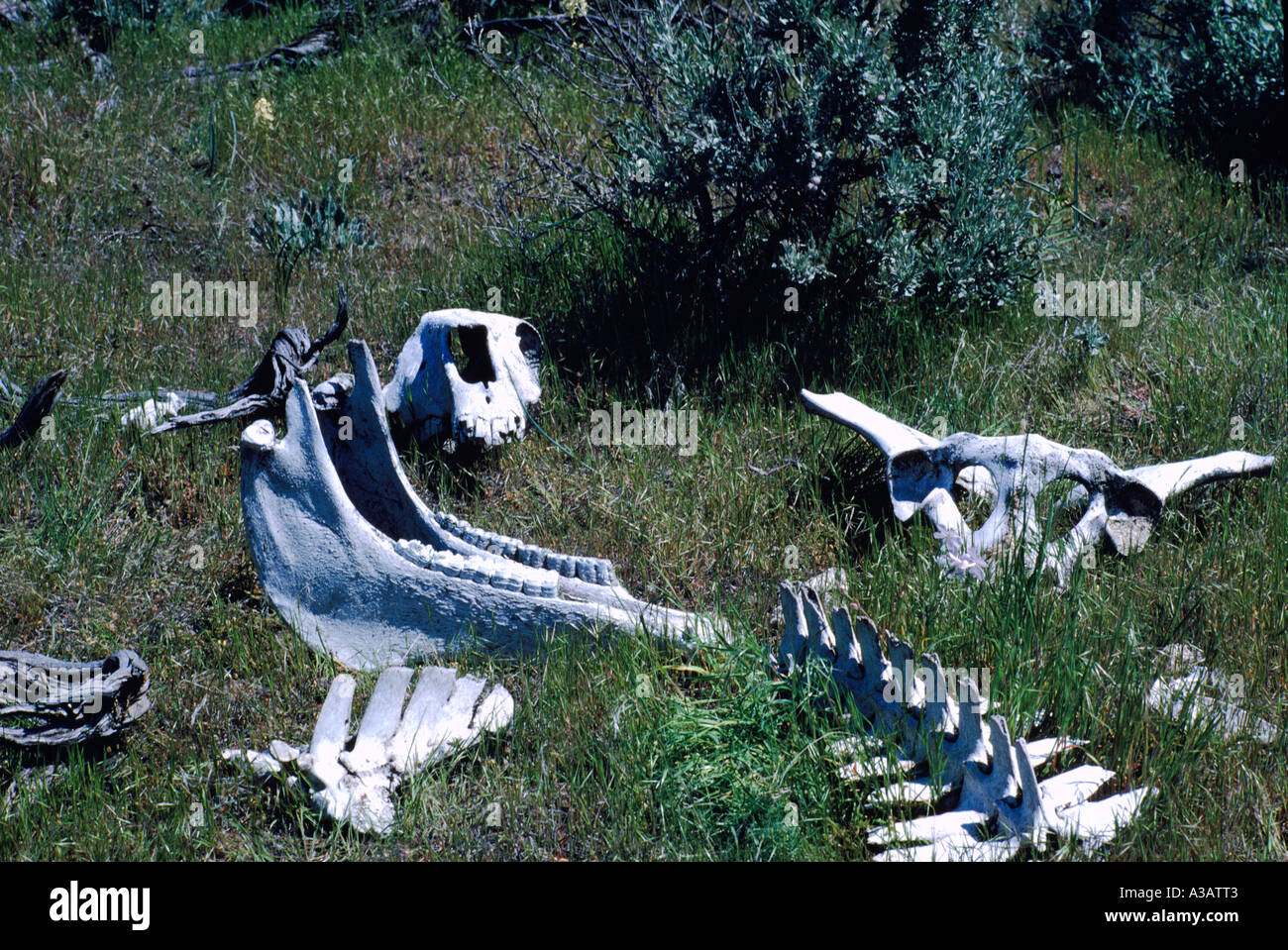An Animal Skeleton in the Pocket Desert near Osoyoos in the South Okanagan Valley of British Columbia Canada Stock Photo
