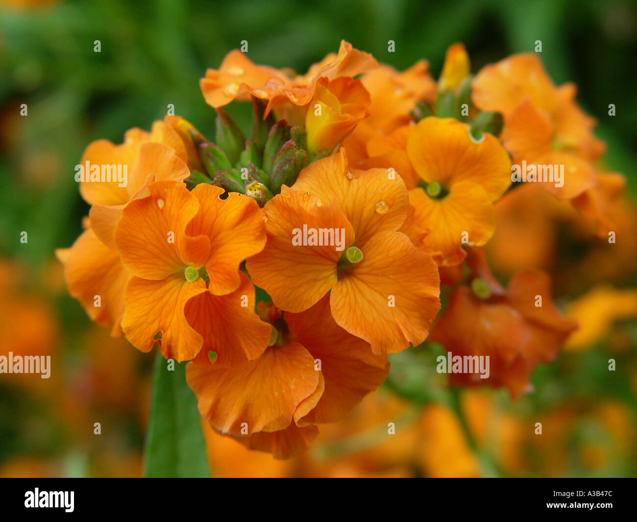Erysimum Apricot Twist Wallflower garden image - Stock Image