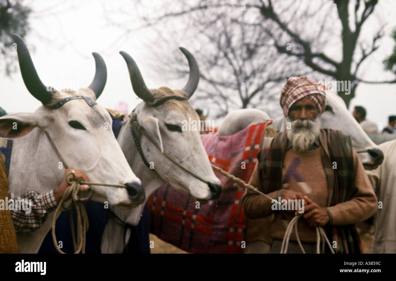 Farmers with their bulls before the race rural sports Punjab India - Stock Image