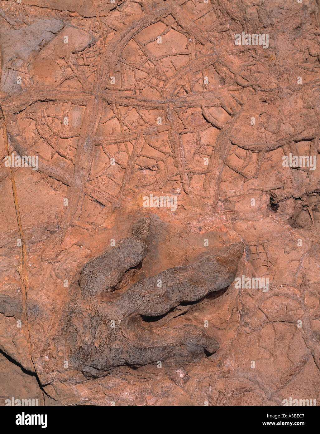 Diplophosaurus Footprint Natural Fossil Cast of Jurassic Dinosaur Foot Johnson Dinosaur Site Utah - Stock Image