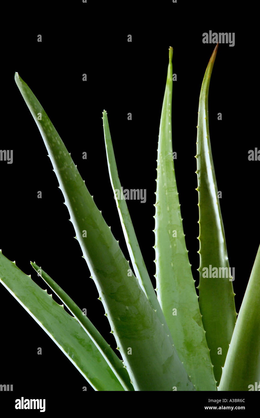 Aloe vera leaves, close-up - Stock Image