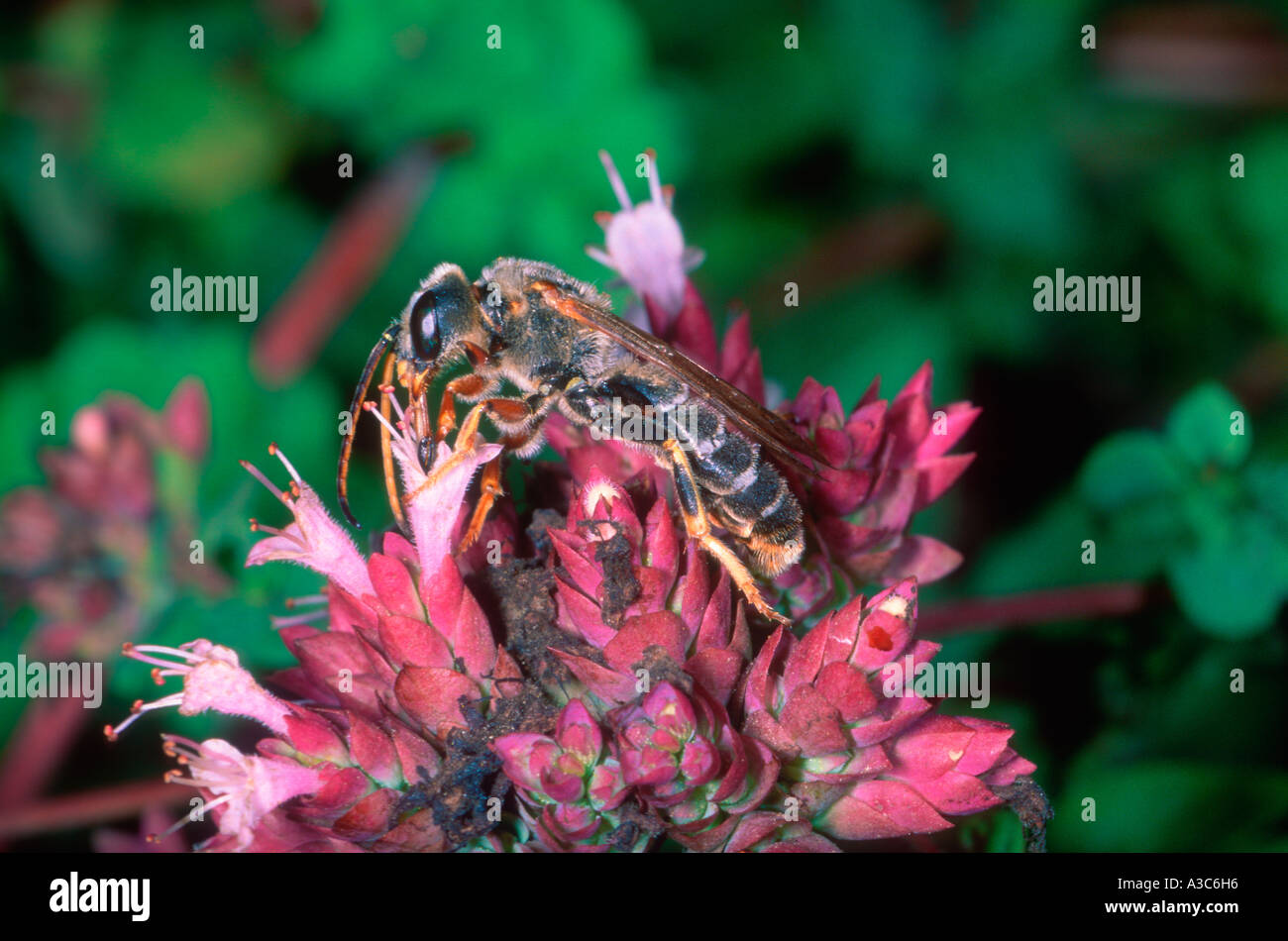 Bee, Family Halictidae. Collecting nectar on flower - Stock Image