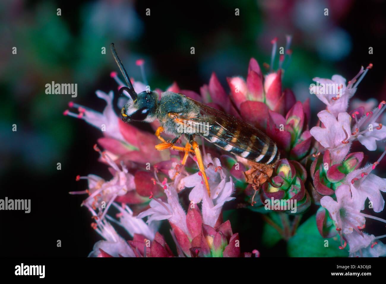 Bee, Family Halictidae. On flower - Stock Image