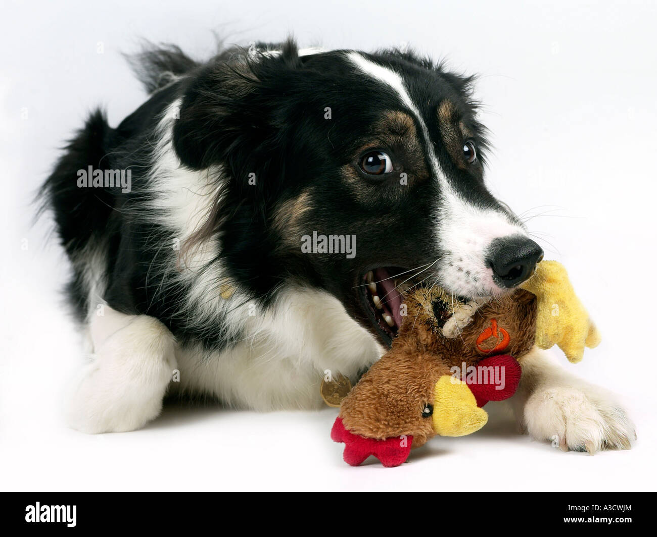 A collie chewing on a cuddly toy. - Stock Image