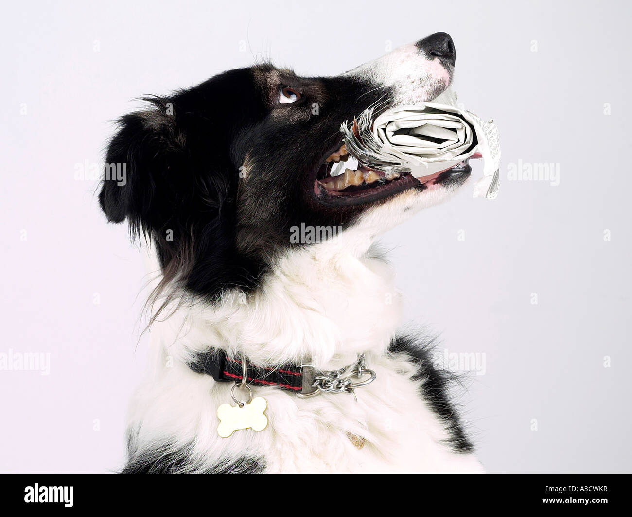 A collie holding a rolled up newspaper looking upwards. - Stock Image