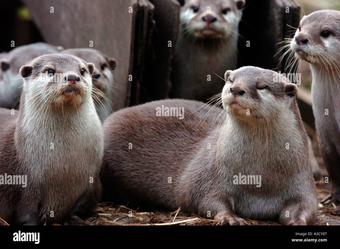 European Otters pictured at New Forest Wildlife Centre in Hampshire, UK Stock Photo