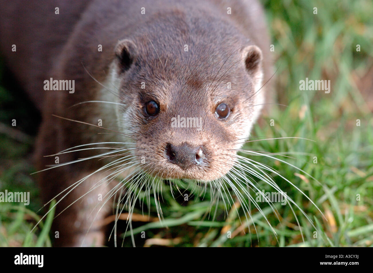 European Otter pictured at New Forest Wildlife Centre in Hampshire, UK Stock Photo