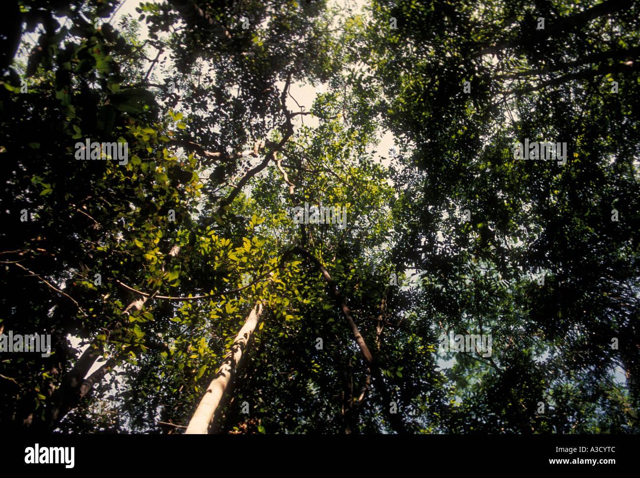 flora, jungle canopy, Puraquequara River, Amazon River Basin, northeast of the city of Manaus, Amazonas State, Brazil, Stock Photo
