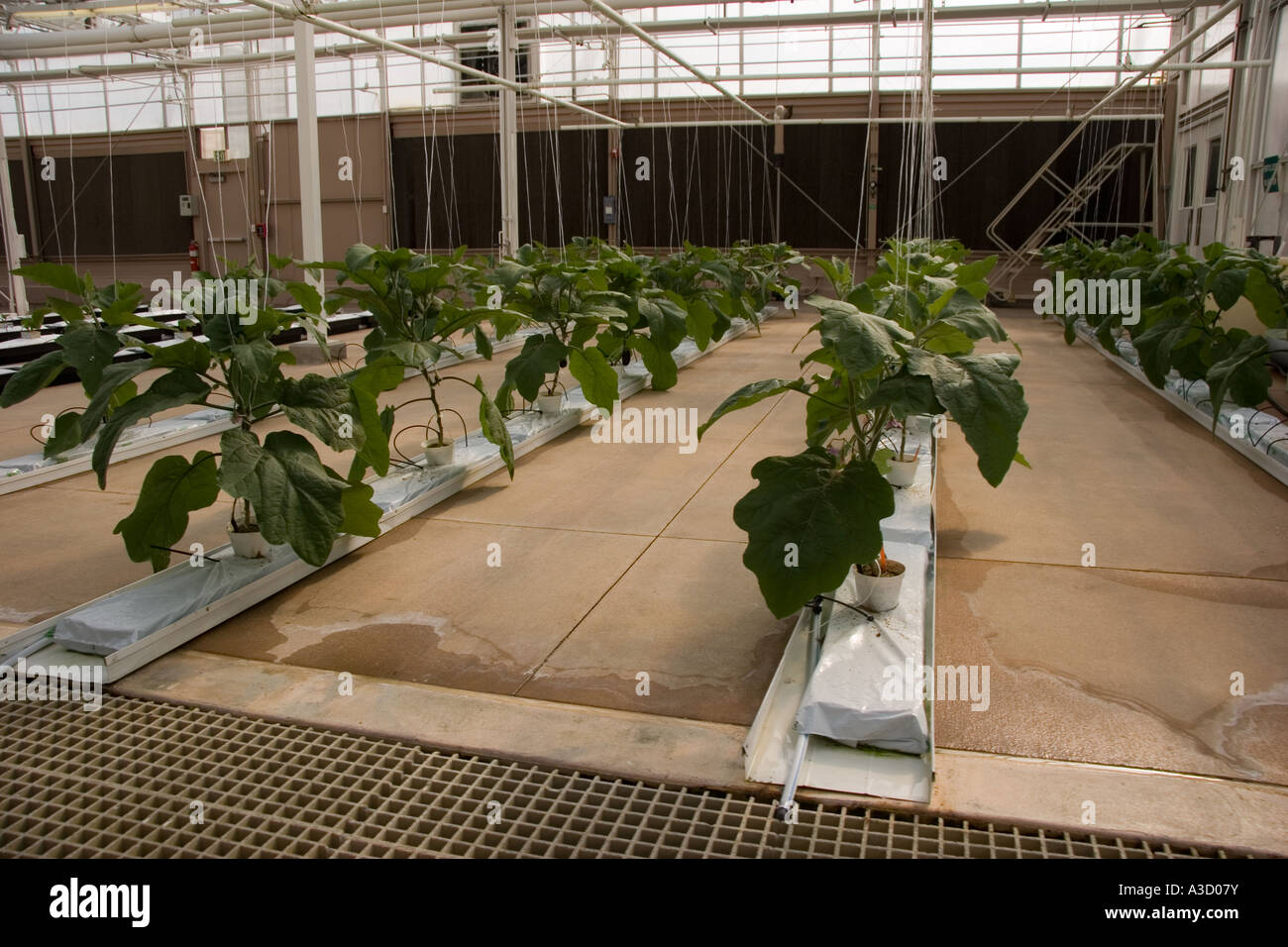 Hydroponics Farming Fruit and Vegetables in indoor Greenhouse on ...