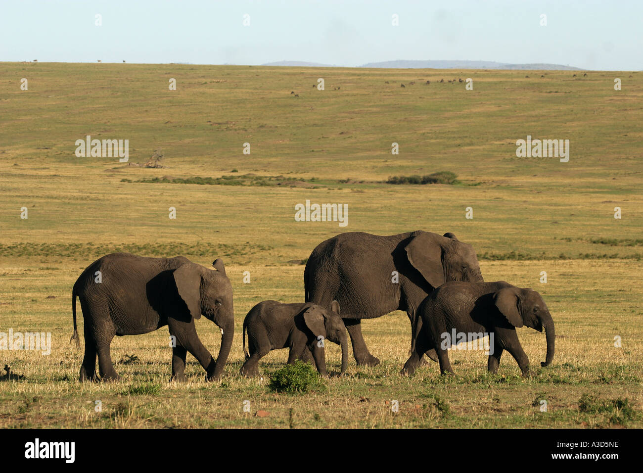 familiy of african elephants Loxodonta africana - Stock Image