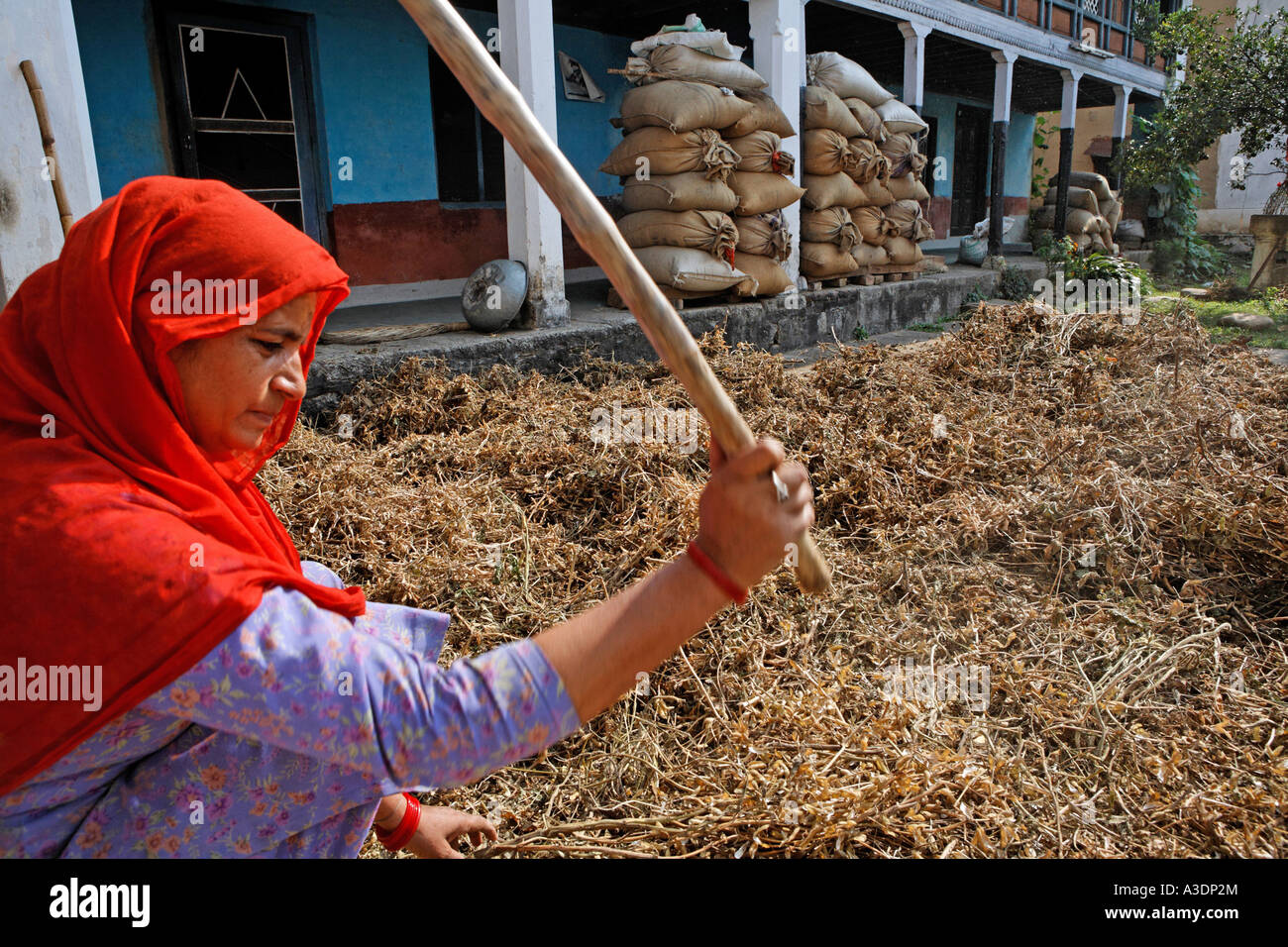 Indo-German-Changar-Eco-Development-Project, Sint Raksha Davi thrashing soy, Projekt in Dodu Dhaba, Shiv Naga, Palampur - Stock Image