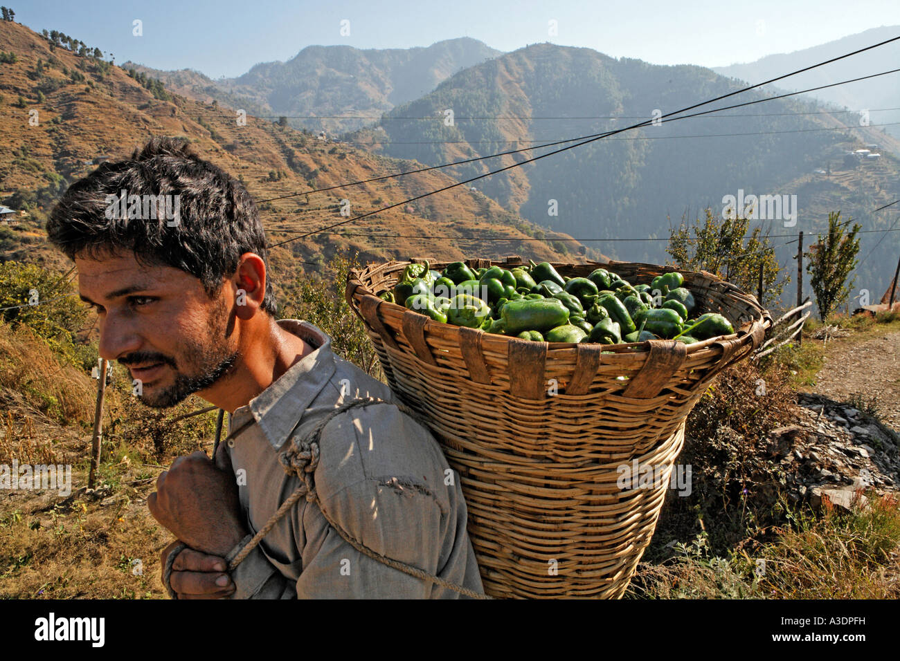 Man carrying his harvested peppers home, Matiyama, Himachal Pradesh, India - Stock Image