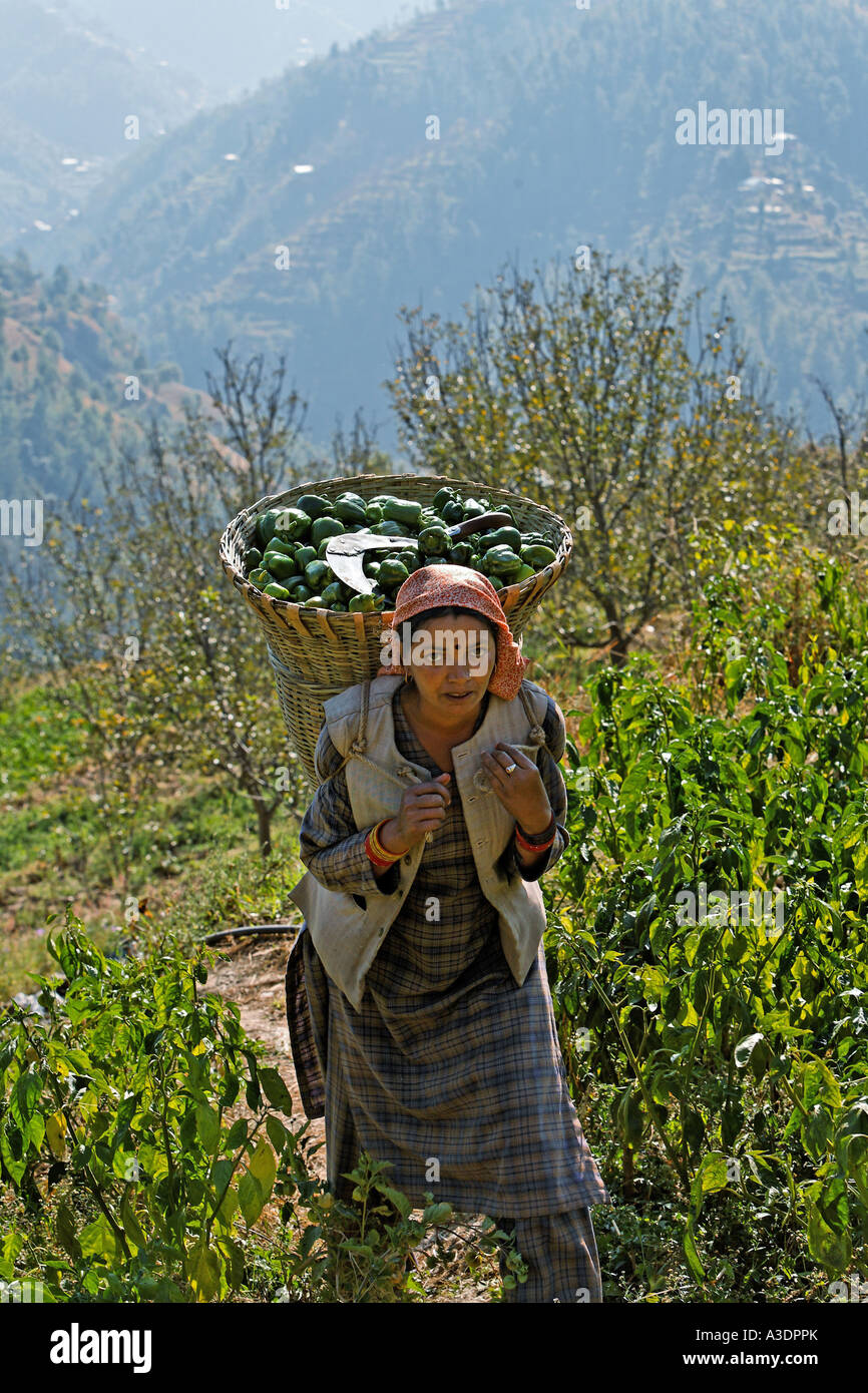 Woman carrying her harvested peppers home, Matiyama, Himachal Pradesh, India - Stock Image
