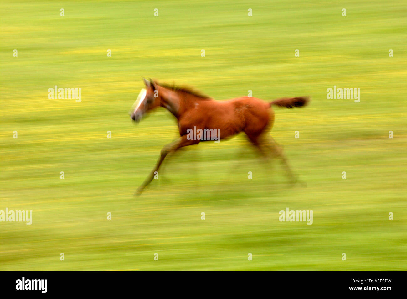 Spirited colt running & playing on Thoroughbred Horse Farm In Chester County, Pennsylvania, USA - Stock Photo