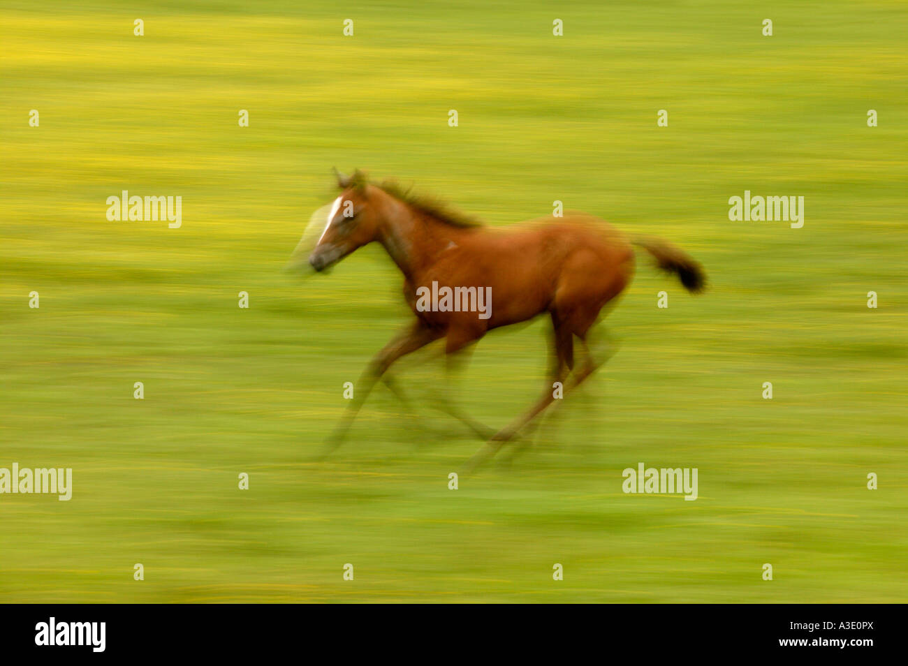 Pan blur action view of spirited colt running & playing on Thoroughbred Horse Farm In Chester County, Pennsylvania, Stock Photo