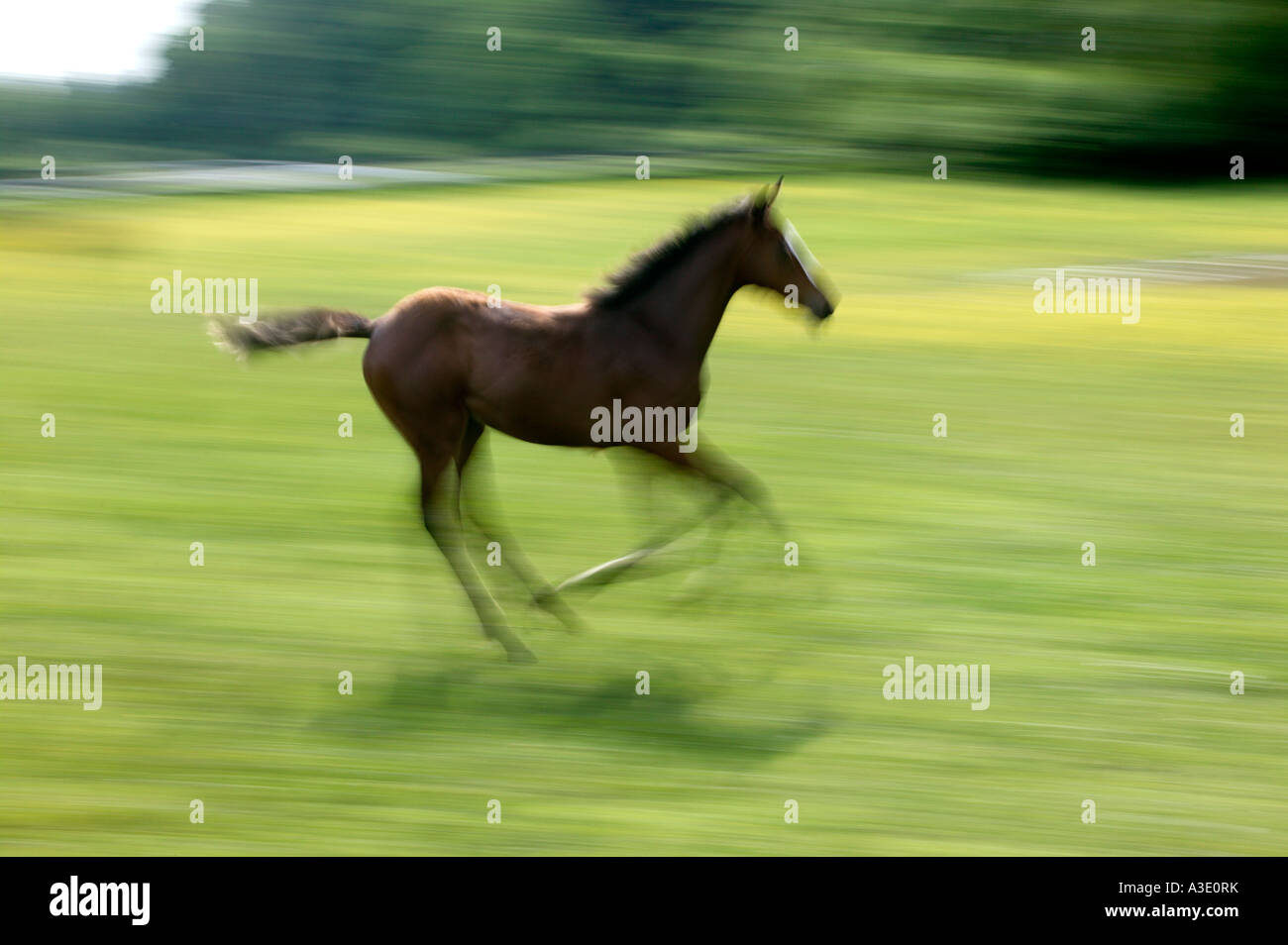 Spirited colt running & playing on Thoroughbred Horse Farm In Chester County, Pennsylvania, USA Stock Photo