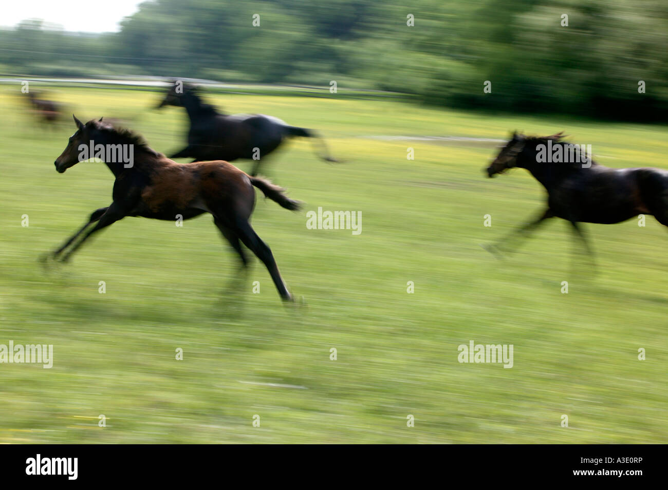 Young Horses Running On Thoroughbred Horse Farm In Chester County,  Pennsylvania, USA - Stock Image