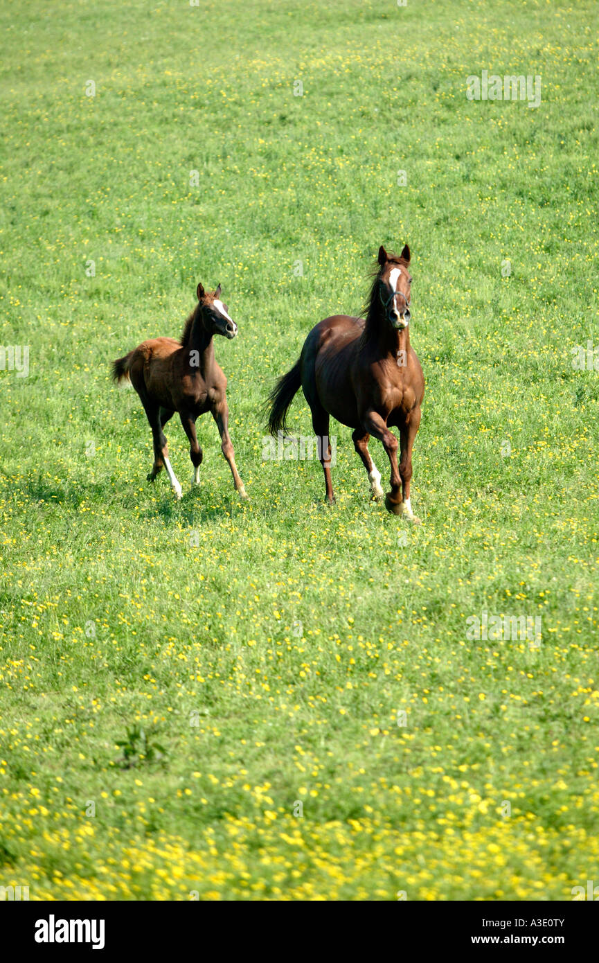 Spirited Mare And Foal Running On Thoroughbred Horse Farm, Chester County, Pennsylvania, USA Stock Photo