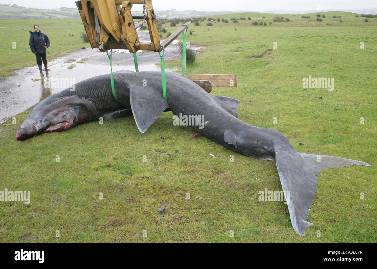 basking shark is removed from beach in Devon after being washed up by high tide - Stock Image