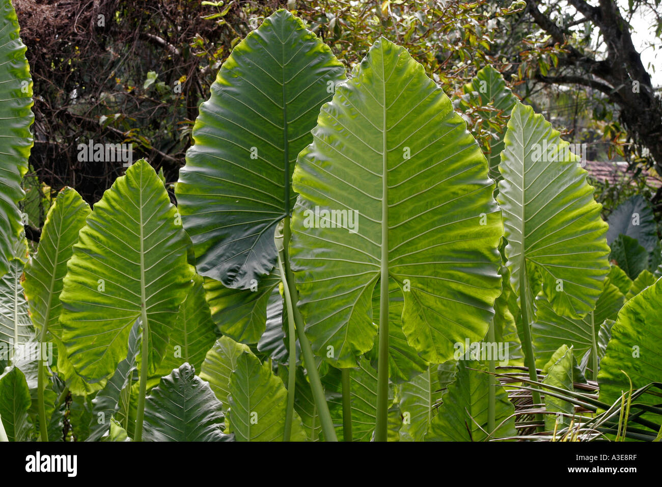 Sri Lanka Tropical Plant With Large Leaves Standing Upright Stock